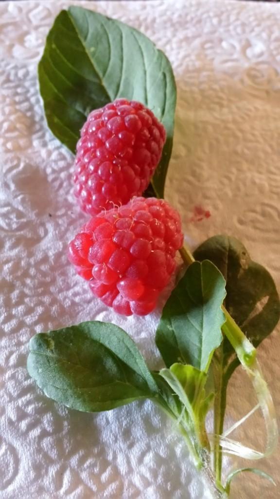 raspberry-winterspinach